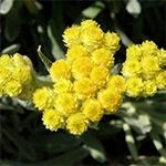 Kocanka Piaskowa (Helichrysum arenarium)