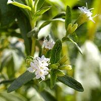 Stewia cukrowa (Stevia rebaudiana)